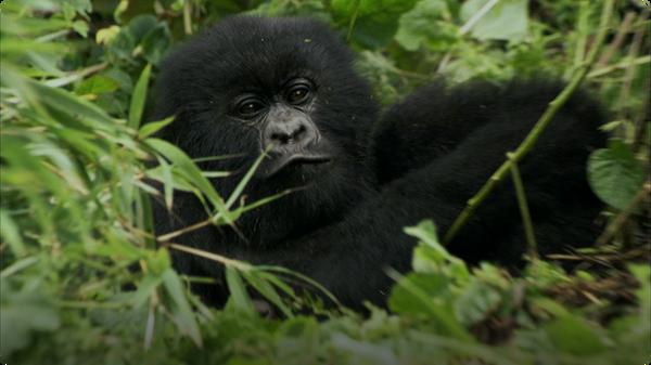 Baby Gorilla Bamboo Feast - Mountain Gorilla