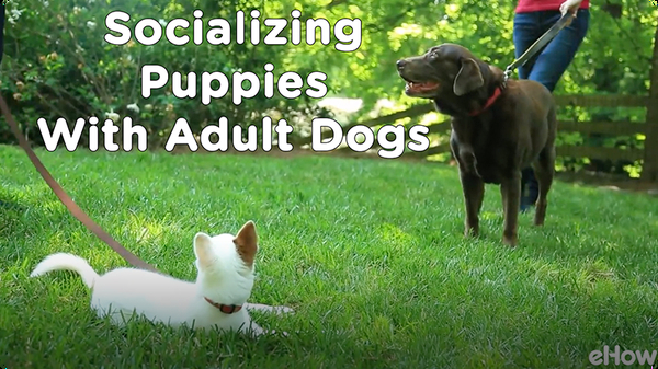 Socializing a Puppy 2: Meeting Adult Dogs | Teacher's Pet With Victoria Stilwell