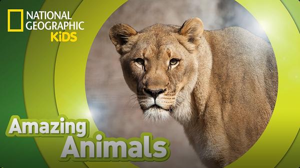 Amazing Animals: African Lion