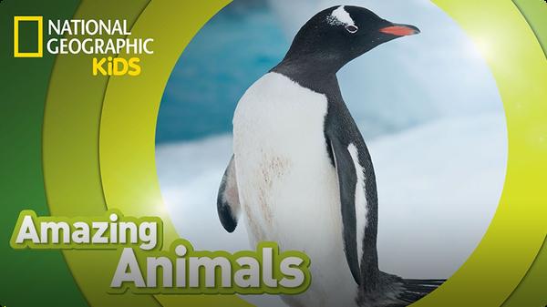 Amazing Animals: Gentoo Penguin