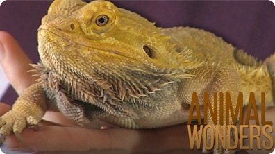 Bearded Dragons! What, Where, How