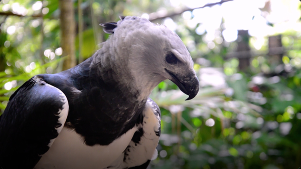 Gabby Wild and The Harpy Eagle of South America