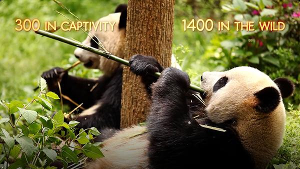 AJHQ Adopts a Panda