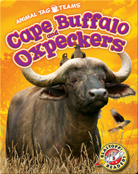 Cape Buffalo and Oxpeckers