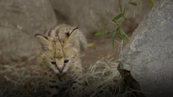 Meet San Diego Zoo's Brand New Serval Kitten