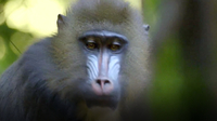 Sweet Baby Mandrill Born at San Diego Zoo
