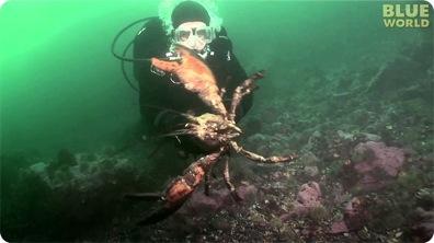 Diver Encounters Huge Lobster!