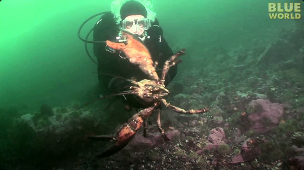 Diver Encounters Huge Lobster!