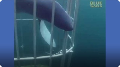 Shark Inside the Cage!!!