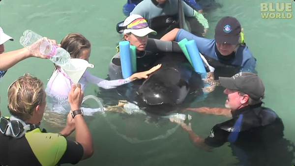 Stranded Pilot whale rescued by volunteers!