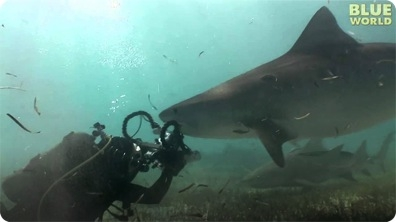 Tiger shark tries to eat video camera!