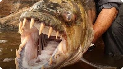 Deadly Goliath Tiger Fish