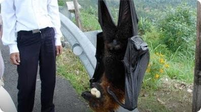 World's Largest Bat - Flying Fox