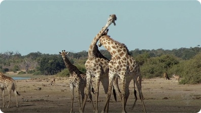 Did You Know: Giraffes