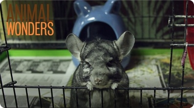 Ash The Chinchilla's Rescue Story