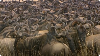 Environment: Wildebeest Migration Patterns