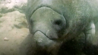 The Manatee - An Endangered Species