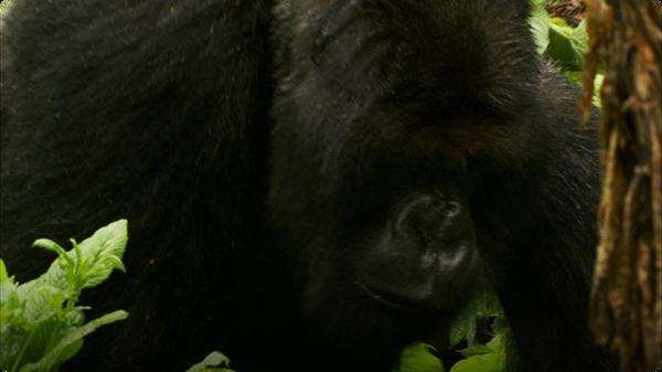 The Brave Gorilla King - Mountain Gorilla