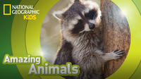 Amazing Animals: Raccoon