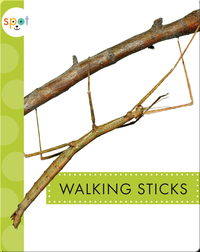Creepy Crawlies: Walking Sticks