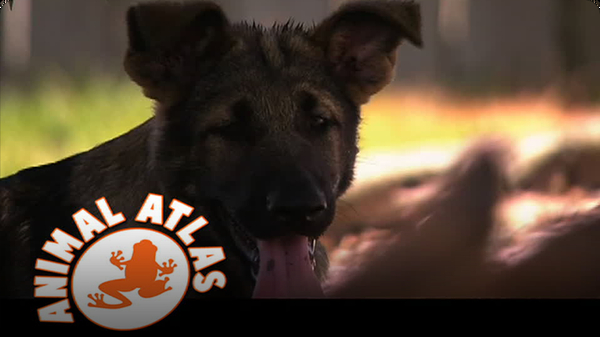 Animal Atlas: German Shepard