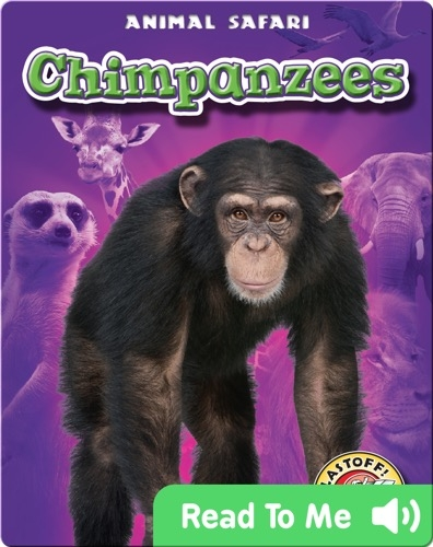 Chimpanzees: Animal Safari