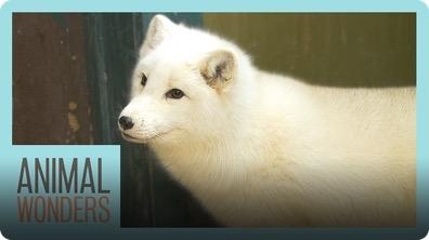 Meet and Greet Tigli the Arctic Fox!