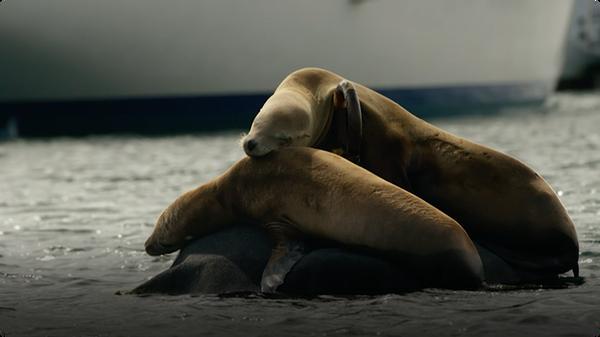 Big Blue: Seals, Sea Lions & Elephant Seals