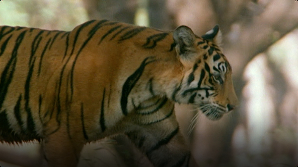 Natural World: Raising Tiger Cubs
