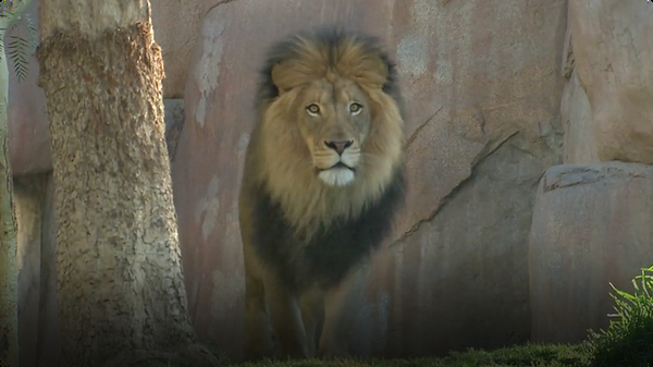 Fascinating Facts About One of the Most Beautiful and Fierce Animals… The Lion