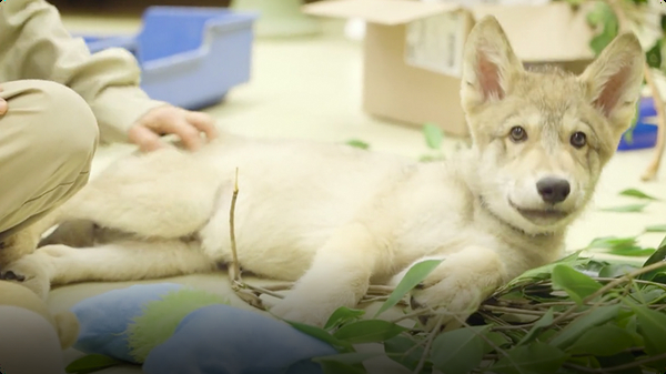 Meet Shadow, a Wolf Pup With a Ferocious Appetite
