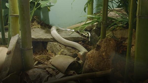 White Cobra Makes Debut at San Diego Zoo