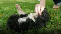 A Puppy's New Home: Portuguese Water Dogs