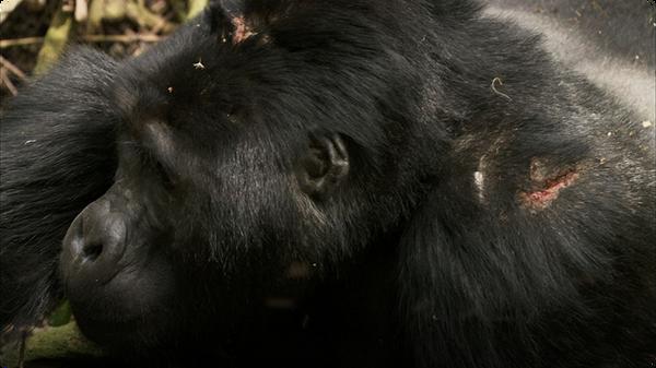 Silverback Chest Beating - Mountain Gorilla