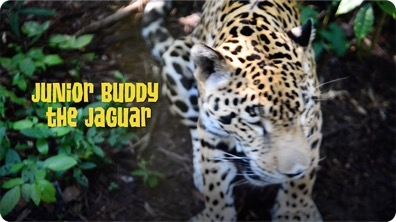 Gabby Wild and the Jaguars of the Belize Zoo