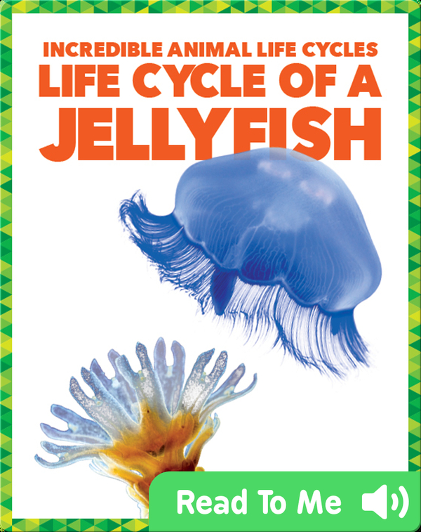 Life Cycle of a Jellyfish