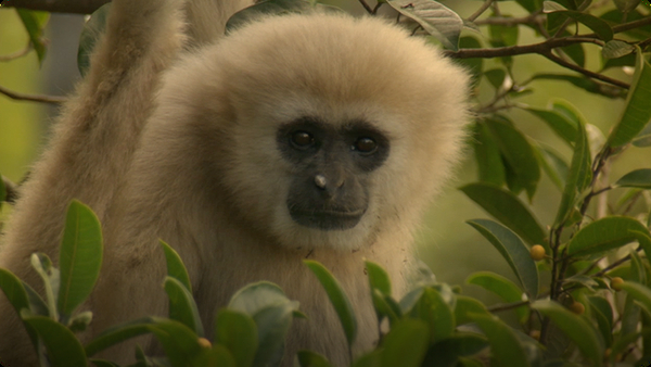 Gibbons and Other Animals Call Out at Dawn