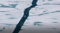 Narwhal Traverse the Thawing Arctic Sea