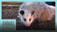 Meet and Greet: Ophelia the Opossum!