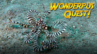 Jonathan Bird's Blue World: Wunderpus Octopus Quest!