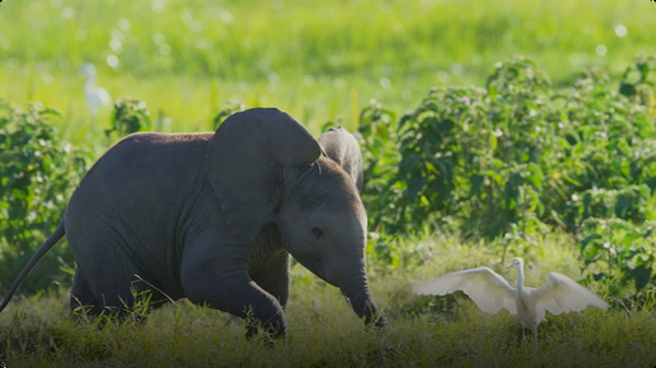 Spy In The Wild: Baby Elephant Misbehaves and Gets Left Behind