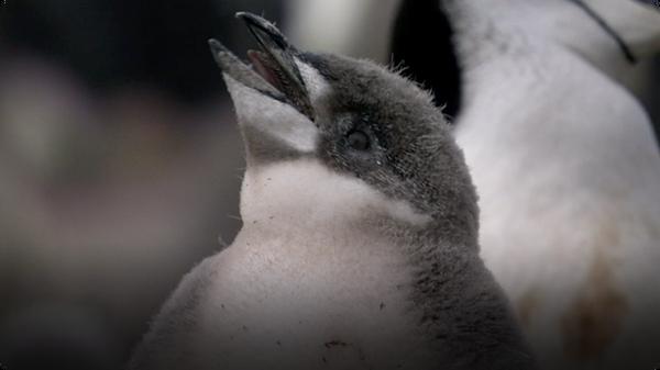 BBC Life: Chinstrap Penguins