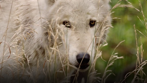 Female Gray Wolves Are The Leaders of their Packs