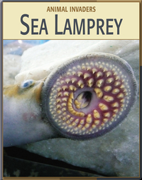 Animal Invaders: Sea Lamprey