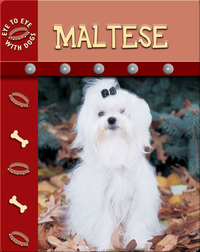 Eye To Eye With Dogs: Maltese