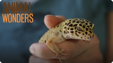 Leopard Geckos! What, Where, and How