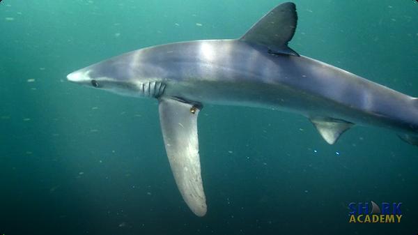 Shark Buoyancy