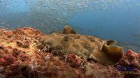 Wobbegong Sharks