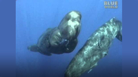 Amazing encounter between diver and Sperm whales!