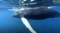 Close Encounter with a Baby Humpback Whale!